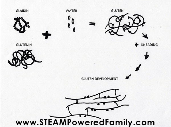 Gluten development illustration