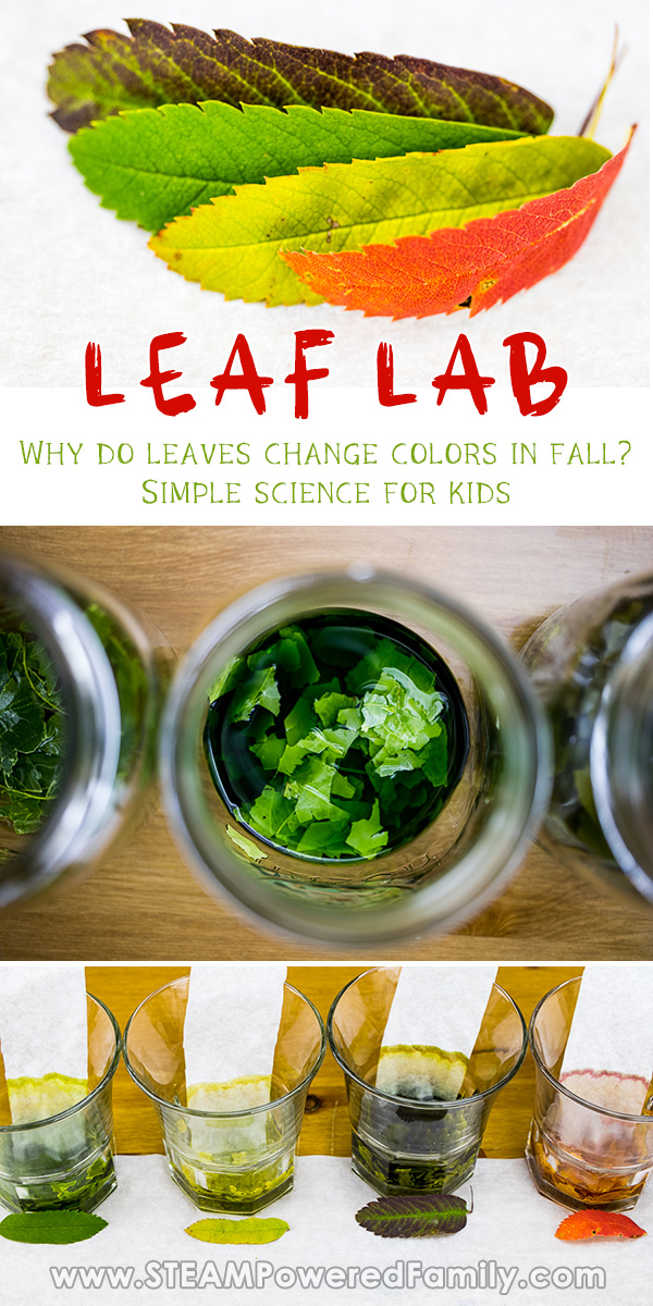 Fall Leaf Science Experiment looking at Why Do Leaves Change Color in Fall